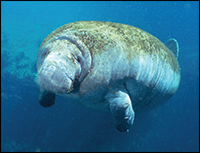 Lorelei the manatee