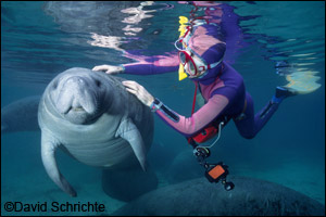 David Schrichte photo example of manatee harassment: touching.